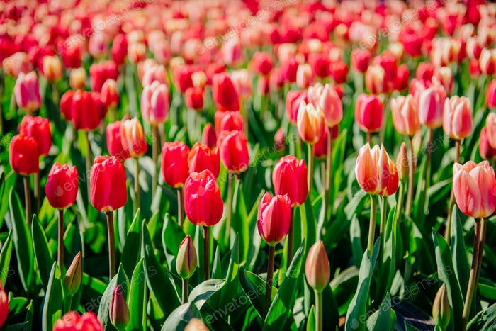 Beautiful red tulips in the Netherlands on sunny spring days.