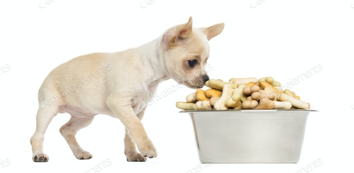 Chihuahua puppy eating from a big bowl full of biscuits, isolated on white