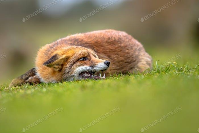 Growling European red fox