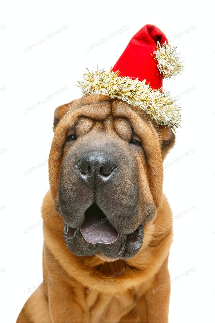 beautiful shar pei puppy in christmas cap