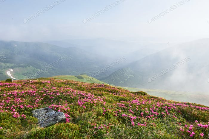 Rhododendrons bloom in a beautiful location in the mountains. Flowers in the mountains. Blooming