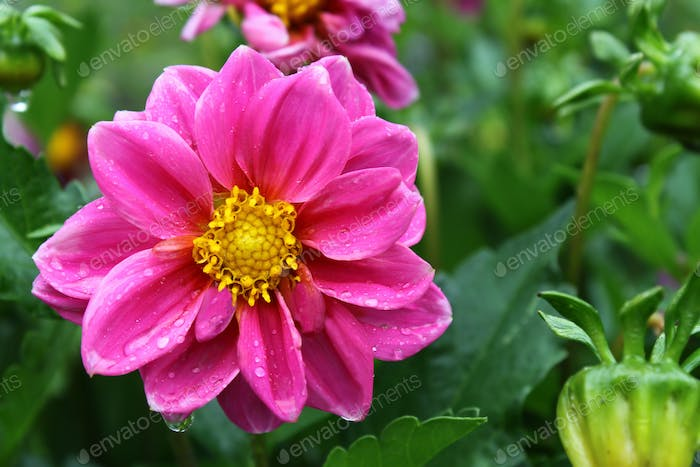 Beautiful flower with water drops