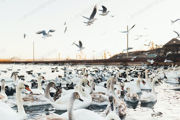 White swans, wild ducks and gulls swimming in sea water in winte