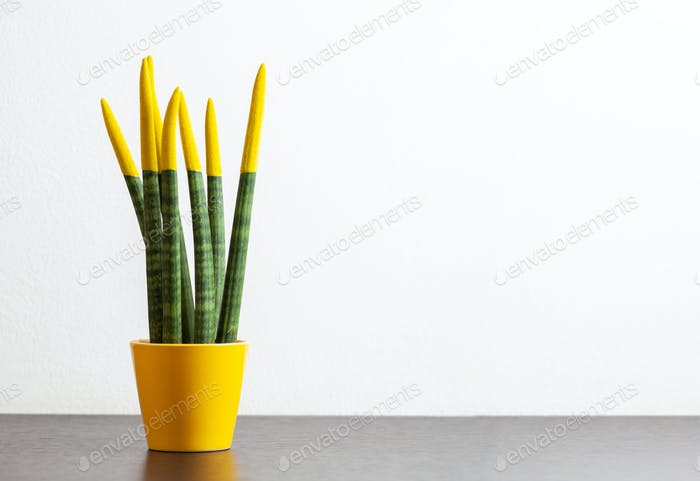 Sansevieria, velvet touchz with yellow color.