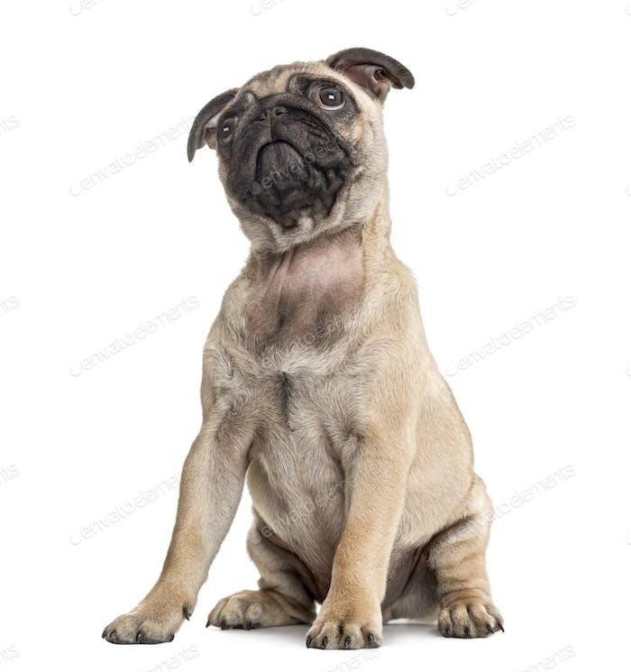 Pug puppy sitting and looking up, isolated on white