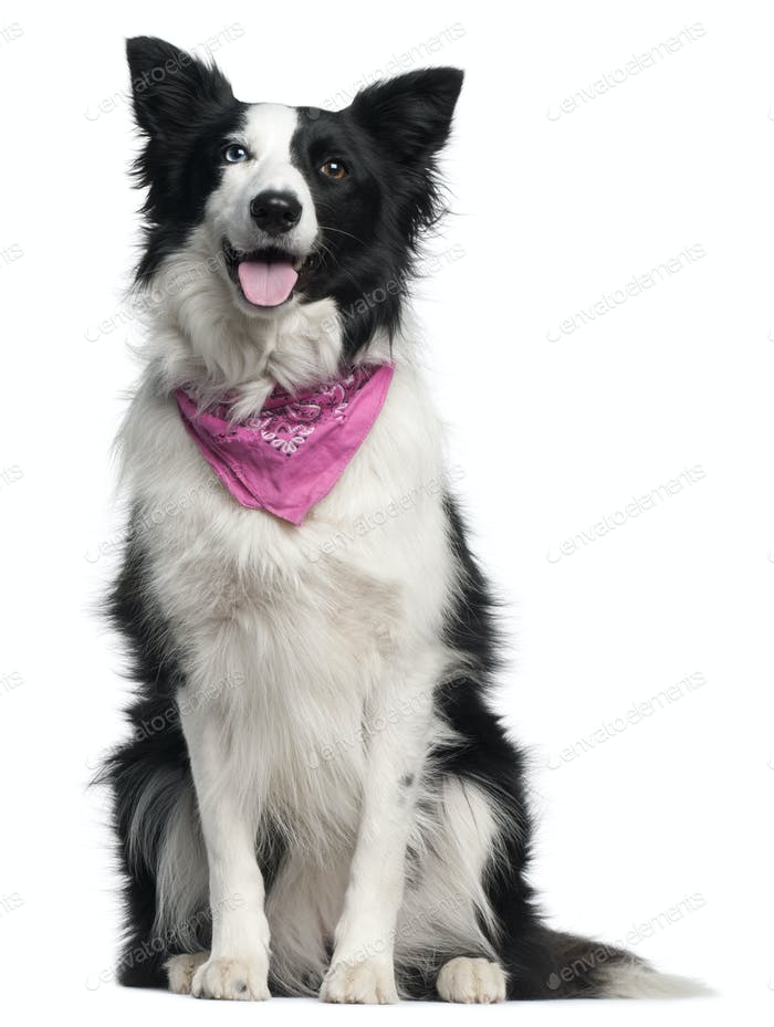 Border Collie wearing pink handkerchief, 2 years old, sitting in front of white background