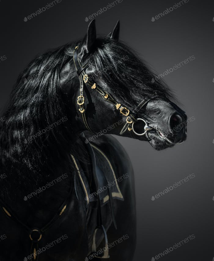 Pura Spanish Horse in portuguese baroque bridle