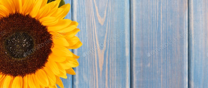 Beautiful and vibrant sunflower on old blue background. Decoration and summer time. Place for text