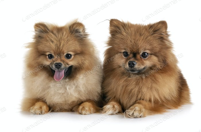 pomeranians in studio