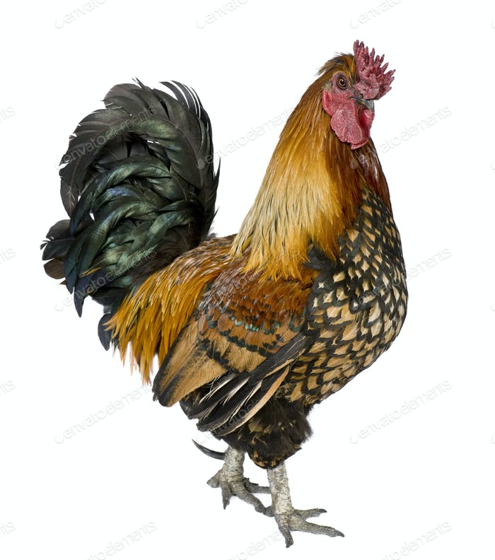 Gallic rooster, 5 years old, standing against white background