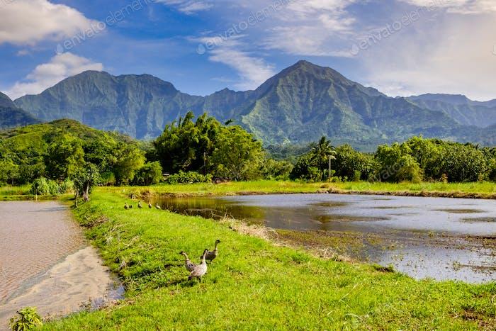 Landschaftsansicht von Hanalai Tal mit wilden Gänsen (Nene), Kauai