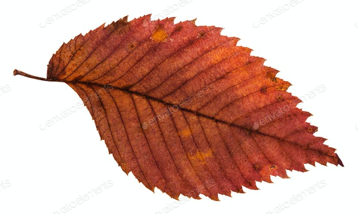 rotten dried red leaf of elm tree isolated