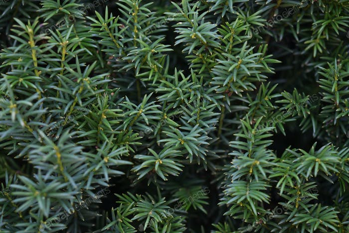 Dark green background of yew branches
