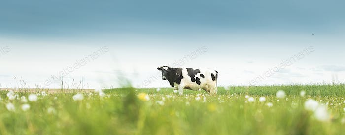 Black And White Cow Eating Grass In Spring Pasture. Cow Grazing On A Green Meadow In Spring