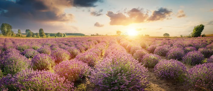 Panorama of lavender flower field at sunset