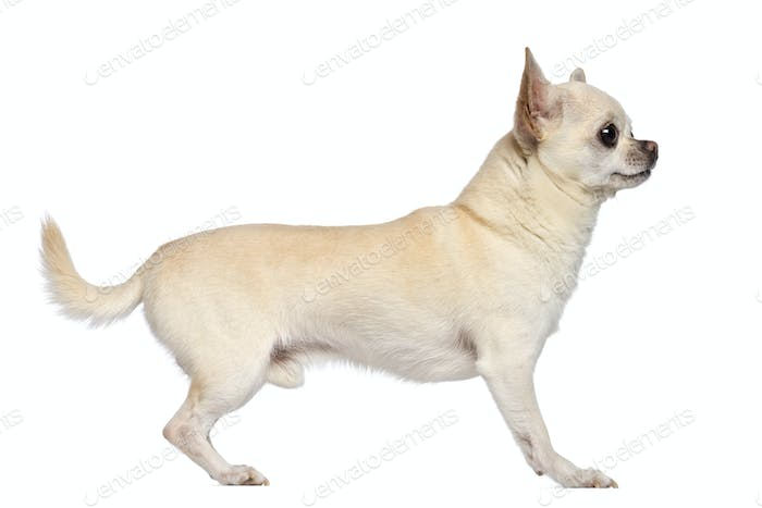 Side view of Chihuahua, 5 years old, standing and looking away against white background