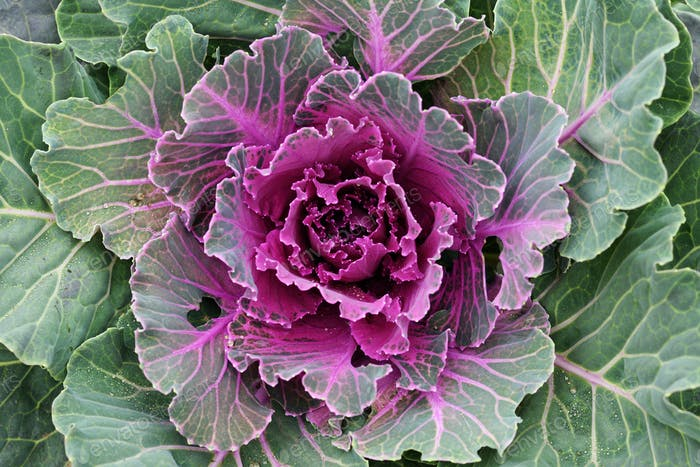 Purple ornamental kale top view