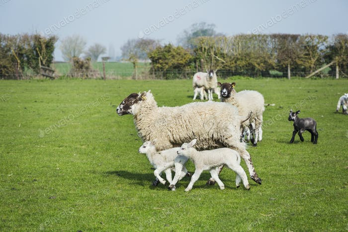 Small flock of sheep and lambs running across a pasture.