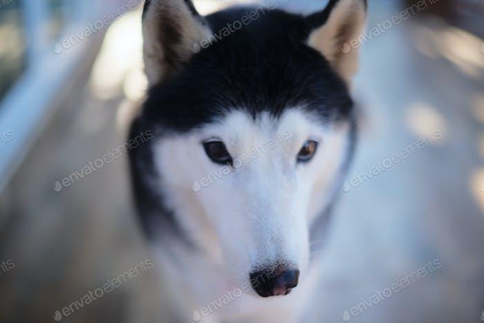 Headshot portrait of Siberian husky