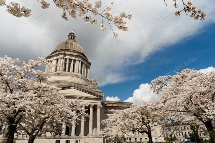 Washington State Capital Building Olympia Springtime Cherry Blossom