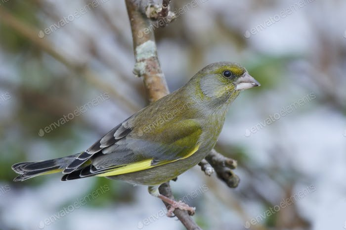 European greenfinch resting in its natural habitat