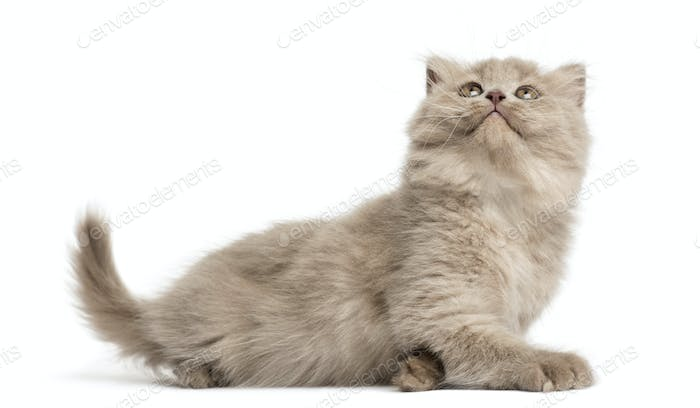 Highland fold kitten lying, looking up, isolated on white