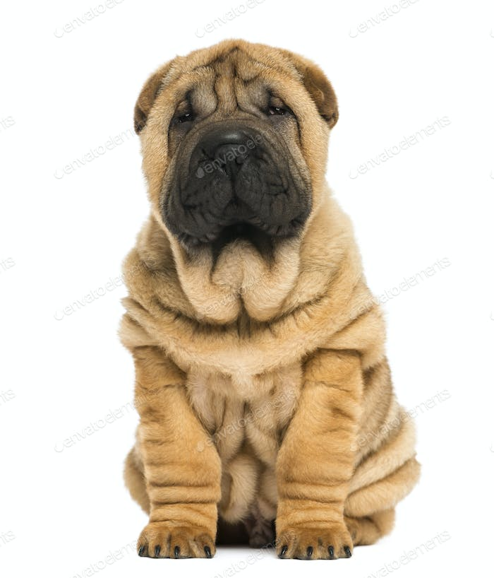 Front view of a Shar pei puppy sitting and looking at the camera (11 weeks old) isolated on white