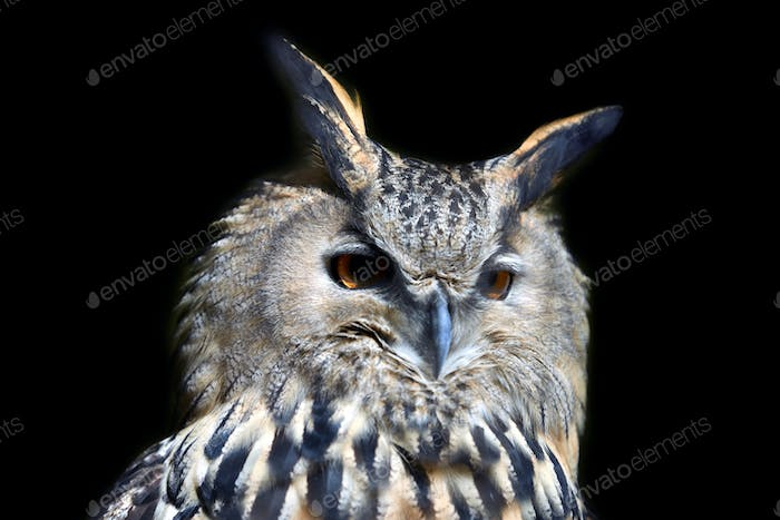 Wild young owl portrait