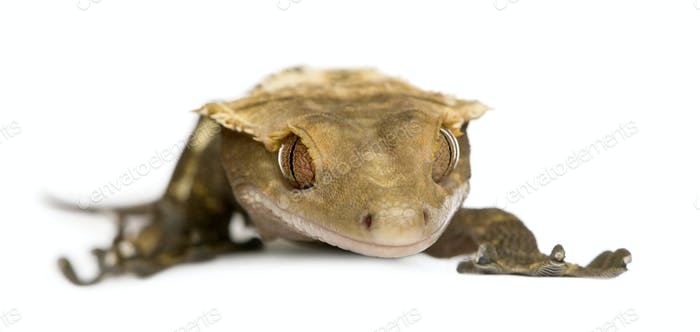 New Caledonian Crested Gecko, Rhacodactylus ciliatus against white background