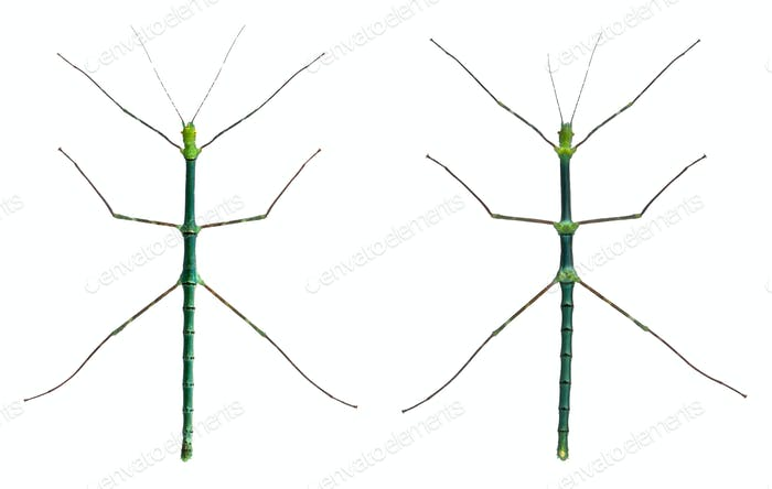 Myronides Sp, stick insects, in front of white background