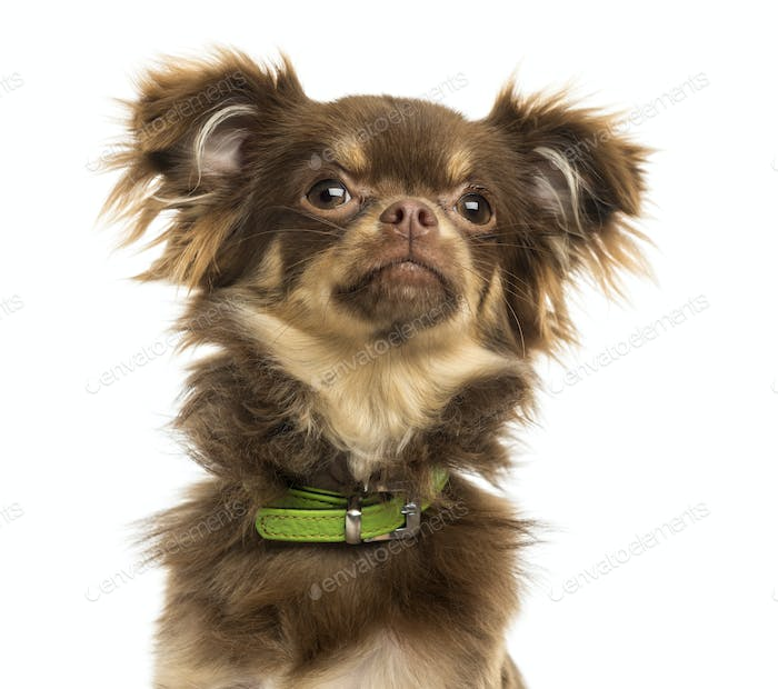 Close-up of a Chihuahua with green collar, looking up, isolated on white