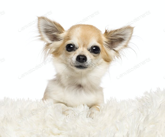 Chihuahua, 4 years old, lying on white fur against white background