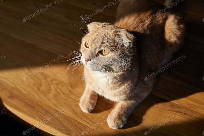 British cat is lying on wooden table in the sunlight at home.