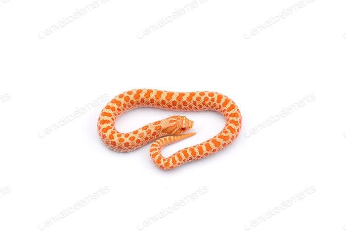 Albino hognose snake isolated on white background