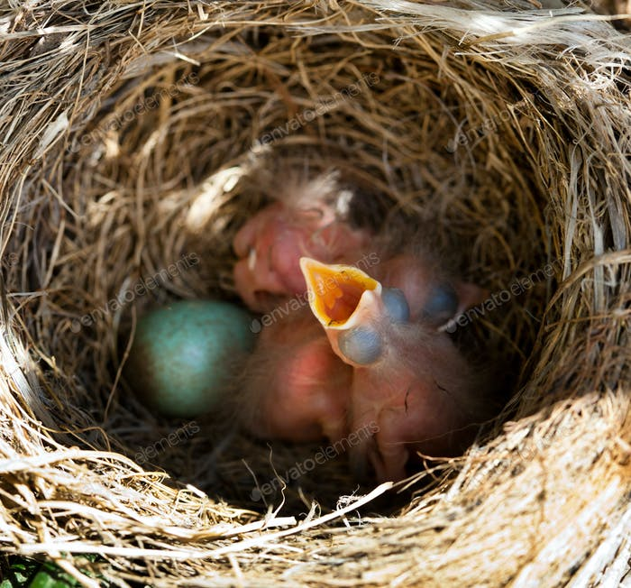 Baby blackbirds in the nest