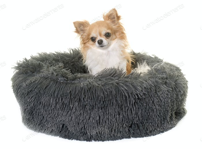 chihuahua in cushion