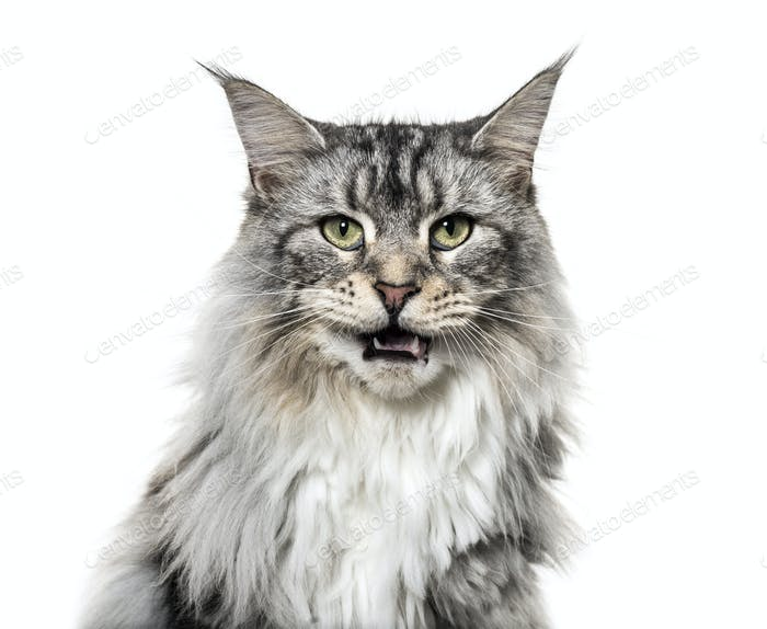 Close-up on a main coon cat meowing, isolated on white