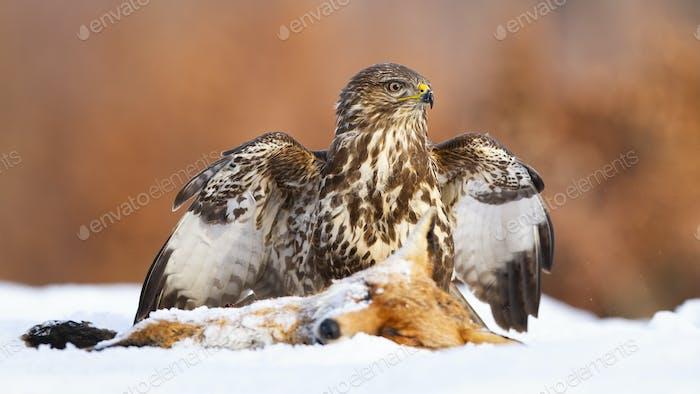 Common buzzard guarding a prey on snowy field in winter