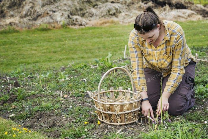 Frau kniend in einem Garten, Ernte Speere von grünem Spargel mit einem Messer, einen Korb neben ihr.