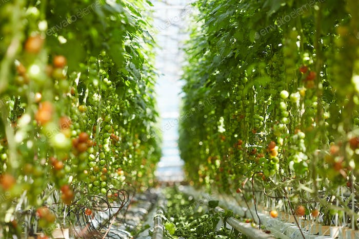 Rows of tomato plants in garden