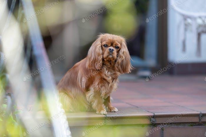 Cute cavalier spaniel