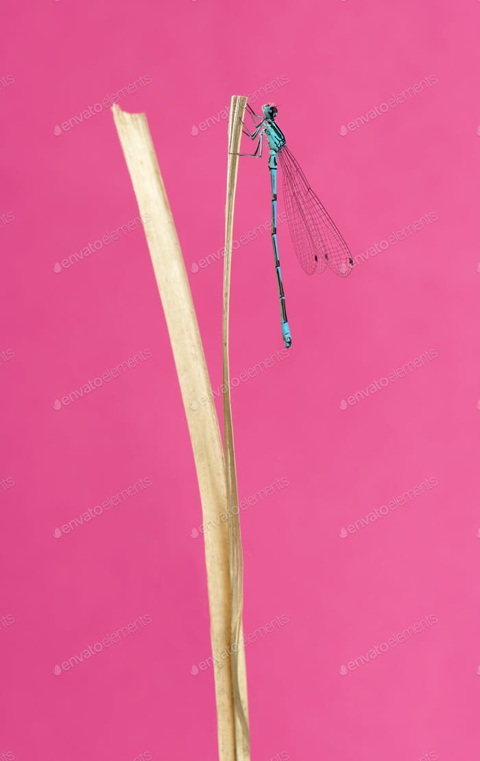Azure damselfly, Coenagrion puella, on a straw in front of a pink background