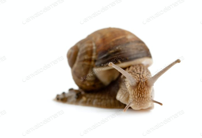 head snail isolated