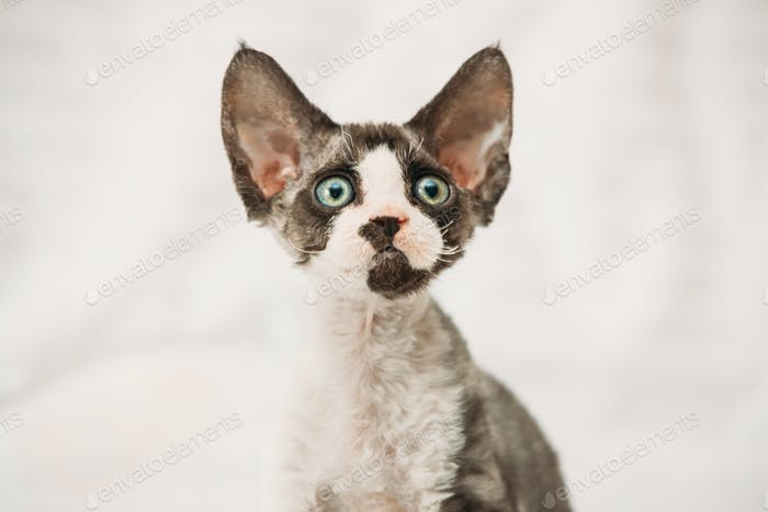 Funny Curious Young Gray Devon Rex Kitten. Short-haired Cat Of English Breed. Close Up Portrait