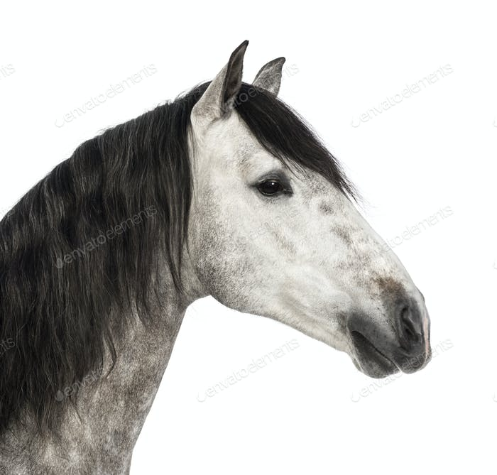 Close-up of an Andalusian head, 7 years old, also known as the Pure Spanish Horse