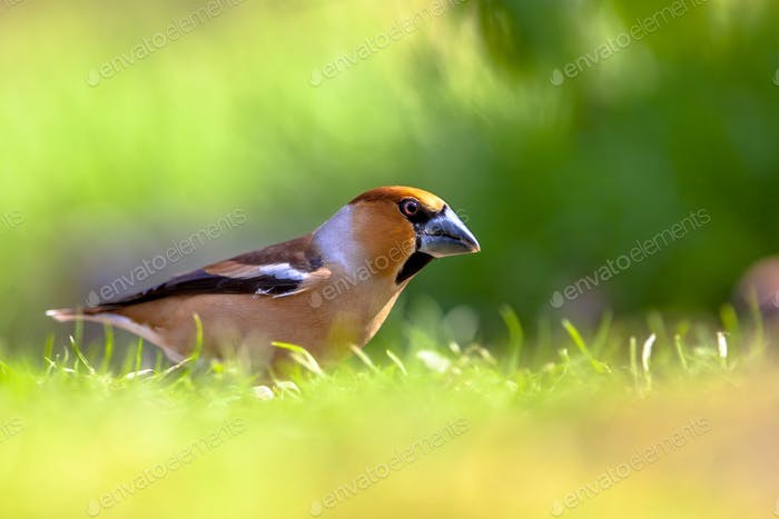 Hawfinch in a field of grass
