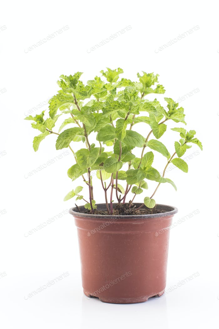 Mint Mojito Potted on a White Background