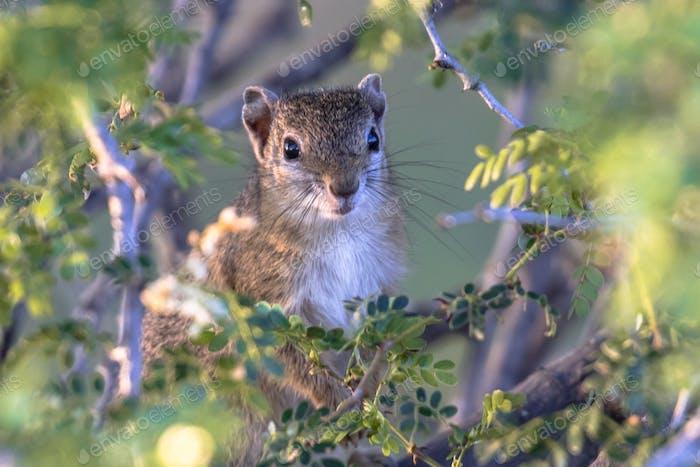 Tree squirrel between leaves
