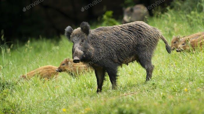 Gefährliche weibliche Wildschwein schützt ihre kleinen jungen Ferkel im Frühling