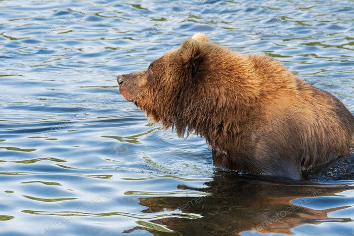 Wild Kamchatka Brown Bear Standing in River, Looking Around, Fishing Red Salmon Fish During Spawning